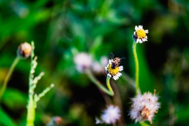 Un'ape sul fiore dell'erba.