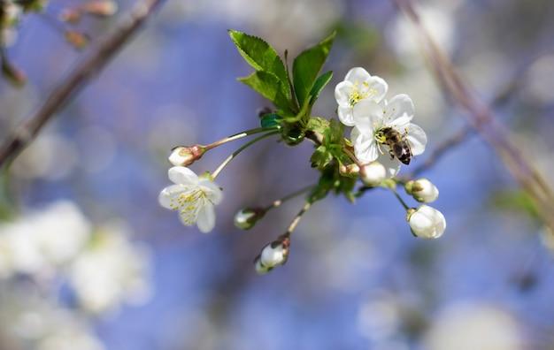Un'ape vola sopra un ramo di fioritura ciliegia nel giardino