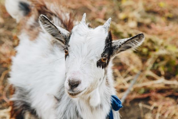 Un bambino bianco e nero con piccole corna sfiora in un giardino rurale. protezione degli animali.