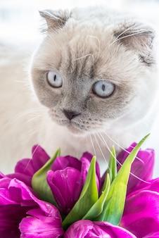 Un bel gatto colorpoint con fiori primaverili di tulipani rosa