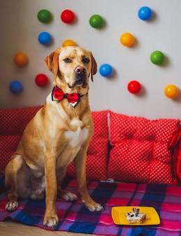 Un bellissimo cane labrador con torta e palloncini