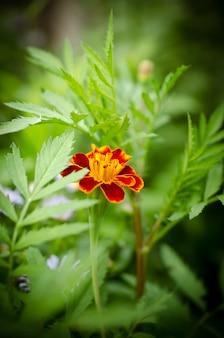Un bellissimo fiore di calendula cresce nel giardino.