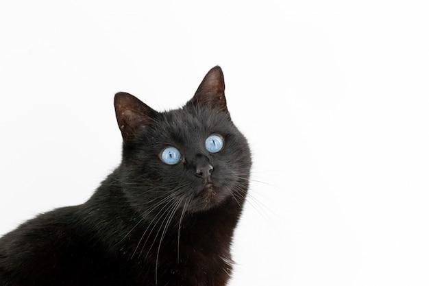 Un bellissimo gatto nero pone su un bianco isolato