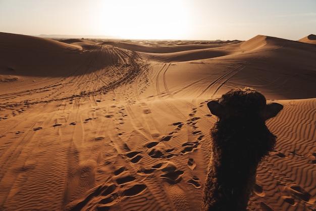 Un bellissimo paesaggio delle dune di sabbia nel deserto del sahara in marocco. fotografia di viaggio. un cammello che cammina nel deserto