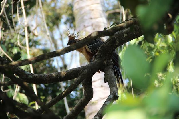 Un bellissimo uccello crestato nella giungla di puerto maldonado. perù