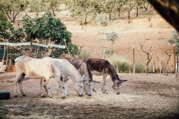 Un bello colpo di due asini bianchi e due marroni che mangiano erba secca