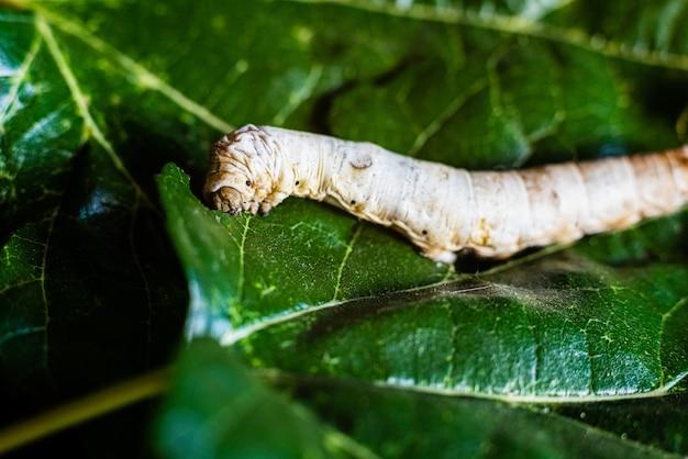 Un bombyx mori da solo, baco da seta, su foglie di gelso verde