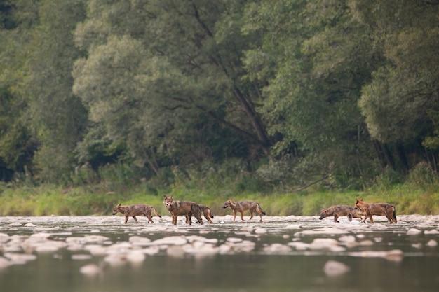 Un branco di lupi di sette attraversando il fiume nel deserto