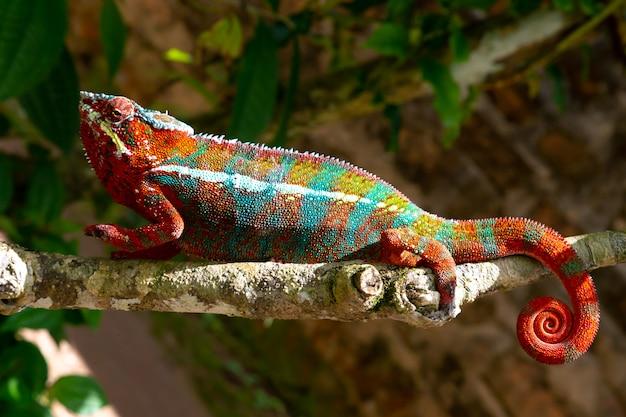 Un camaleonte colorato su un ramo in un parco nazionale sull'isola del madagascar