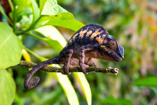 Un camaleonte in primo piano in un parco nazionale sul madagascar