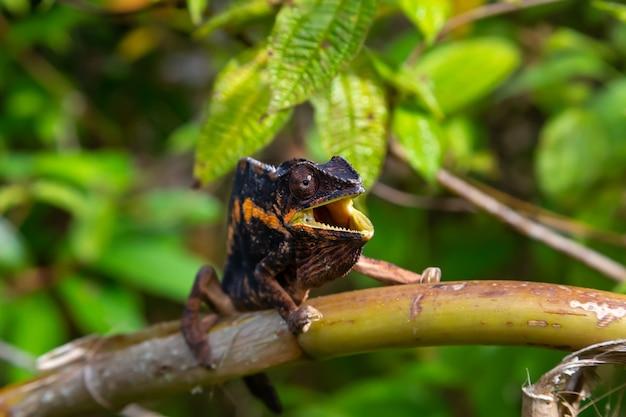 Un camaleonte si muove lungo un ramo in una foresta pluviale in madagascar