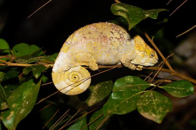 Un camaleonte su un ramo con foglie verdi