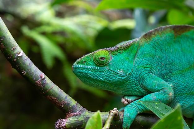 Un camaleonte verde su un ramo in primo piano