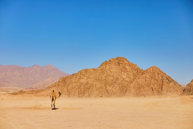 Un cammello rimane su una terra deserta con cielo blu sul.