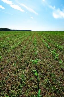 Un campo con file di giovani germogli di mais verde sotto un cielo blu con nuvole