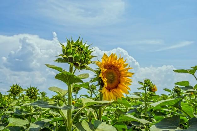 Un campo di file pari di piante di girasole, protetto da parassiti, erbe infestanti e malattie