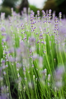Un campo di fiori di lavanda
