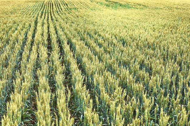 Un campo di grano giovane. paesaggio agricolo.