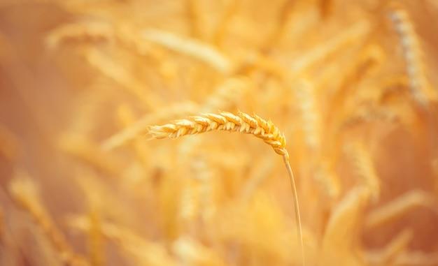 Un campo di grano. messa a fuoco selettiva natura.