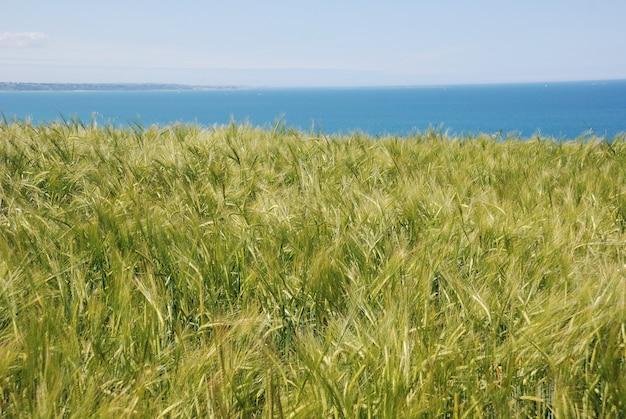 Un campo di orzo sulla costa della bretagna