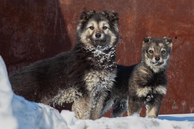 Un cane bianco e nero e un cucciolo stanno vicino alla ricerca di una persona che passa, cani in inverno su un cumulo di neve.