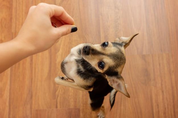 Un cane carino che terrier chiede cibo. animale domestico affamato e mano con il cibo.