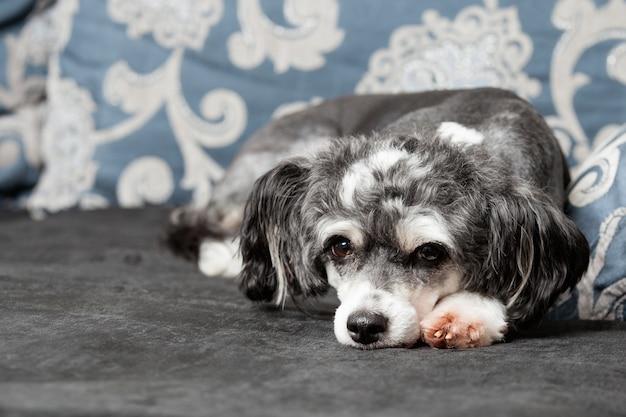 Un cane crestato cinese grigio