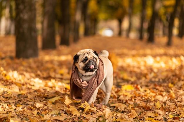 Un cane del carlino avvolto in una sciarpa cammina nel parco di autunno lungo le foglie gialle
