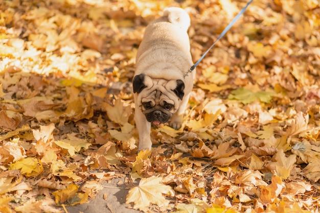 Un cane della razza del carlino cammina nel parco di autunno lungo le foglie gialle contro lo sfondo degli alberi e della foresta di autunno.