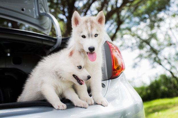 Un cane di due husky siberiano che si siede nell'automobile