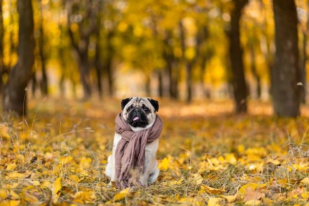 Un cane di una razza carlino avvolto in una sciarpa si siede in un parco in autunno su foglie gialle contro a di alberi e foresta d'autunno. cucciolo guardando la telecamera