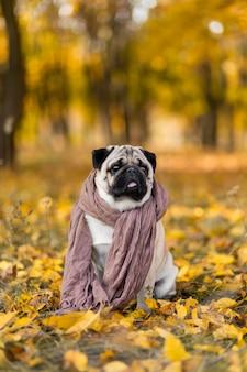 Un cane di una razza carlino avvolto in una sciarpa si siede in un parco in autunno su foglie gialle