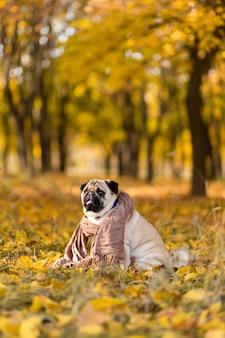 Un cane di una razza carlino avvolto in una sciarpa si siede in un parco in autunno