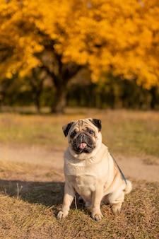 Un cane di una razza del carlino si siede in un parco di autunno sulle foglie gialle contro la a degli alberi e la foresta di autunno. cucciolo guardando la telecamera.