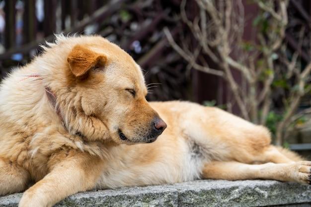 Un cane marrone peloso addormentato si adagia sulla roccia e sul solido muro