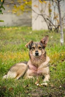 Un cane randagio con un orecchio sollevato e una molletta nell'altro orecchio giace sull'erba e tristemente dritto. primo piano, copia spazio.