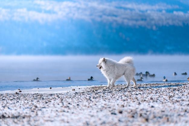 Un cane samoiedo sulla riva del fiume siberiano caccia le anatre in inverno. splendido scenario.