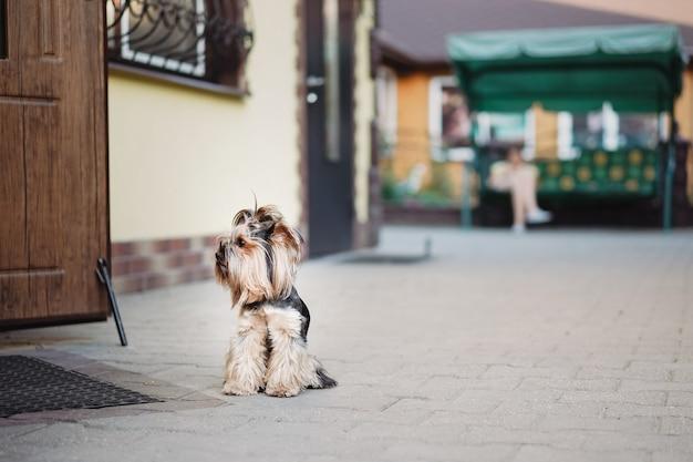 Un cane terrier solitario attende fedelmente il proprietario alla porta della strada. concetto di animali domestici