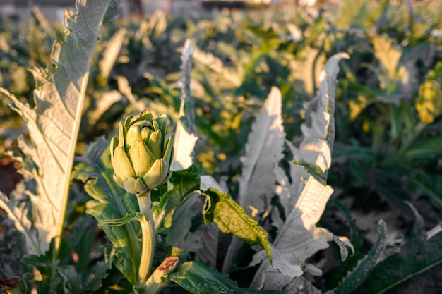 Un carciofo maturo cresce nel suo cespuglio in una piantagione mediterranea.