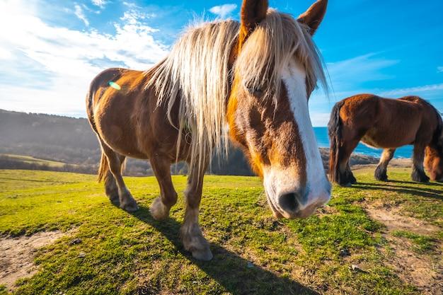 Un cavallo libero dalla montagna di jaizkibel che saluta vicino a san sebastian, gipuzkoa. spagna