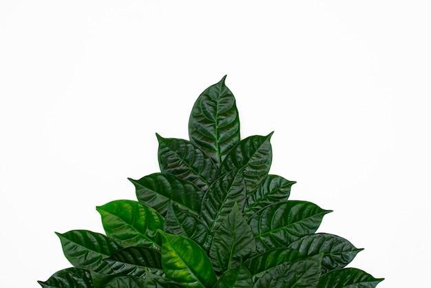 Un cespuglio di foglie verdi su sfondo bianco isolato.