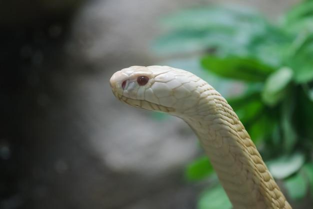 Un cobra bianco che guarda attraverso l'armadio di vetro nello zoo