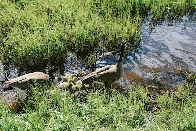 Un colpo del primo piano di due anatre che stanno nell'acqua vicino agli anatroccoli nel mezzo del campo di erba
