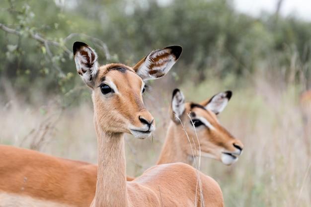 Un colpo del primo piano di due bei cervi nel parco nazionale di kruger