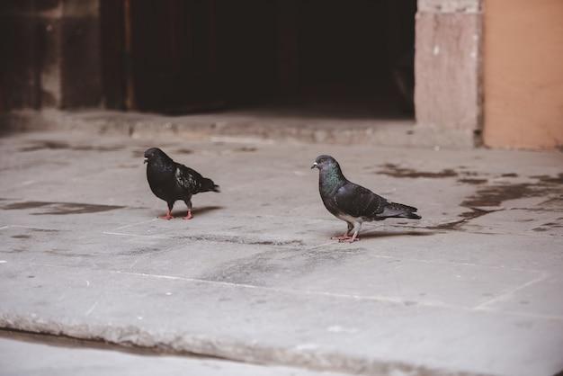 Un colpo del primo piano di due piccioni che camminano sulla terra con uno sfocato
