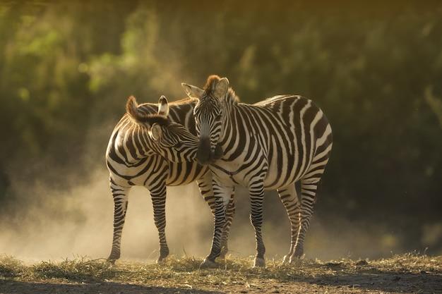 Un colpo del primo piano di due zebre che stringono a sé