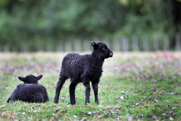 Un colpo orizzontale di due piccoli agnelli neri coperti in lana spessa nel parco di cornovaglia, nuova zelanda