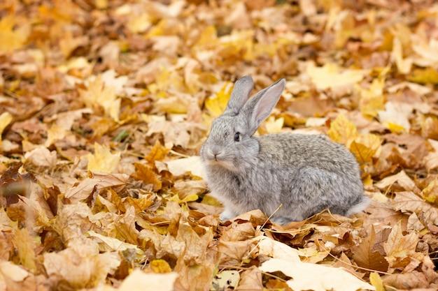 Un coniglio grigio in foglie gialle cadono. paesaggio autunnale coniglio grigio birichino