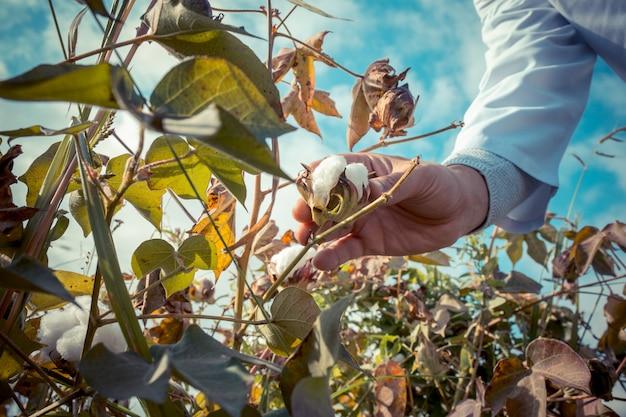 Un contadino che raccoglie cotone nella piantagione.