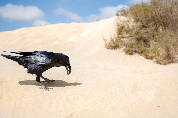 Un corvo che mangia ciò che ha cacciato in mezzo alle dune di sabbia.